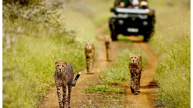 cheetahs walking before a tour van