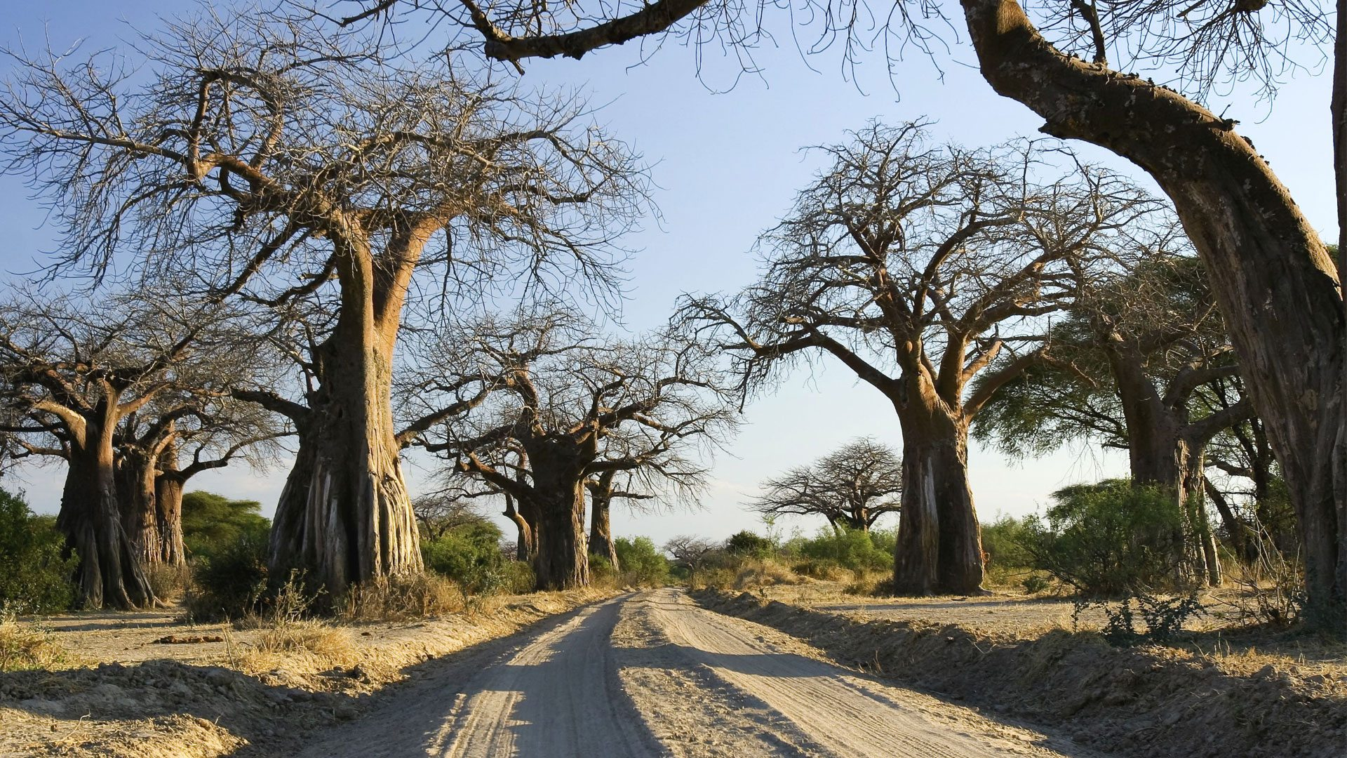 baobab-trees-ruaha