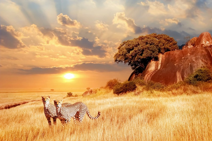 cheetahs_in_the_african_savanna_against_the_backdrop_of_beautiful_sunset._serengeti_national_park