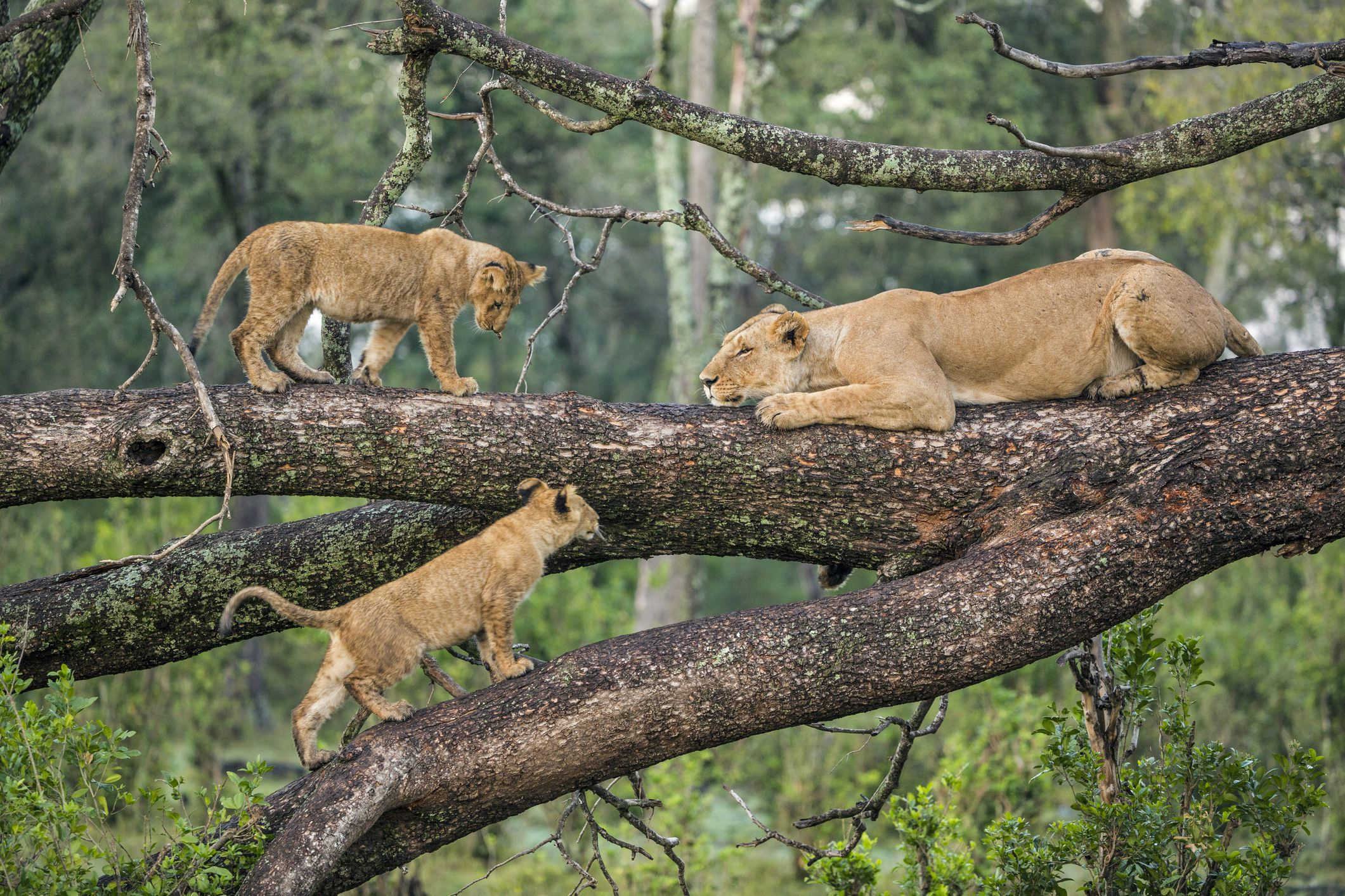 lioness and cubs on tree branches