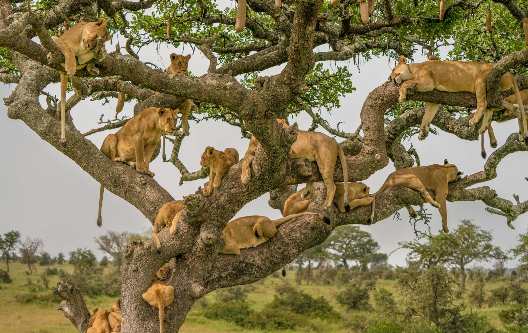 lionesses hanging out on a tree