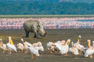 rhino walking among flamingos
