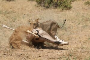 a lioness attacking an antelope