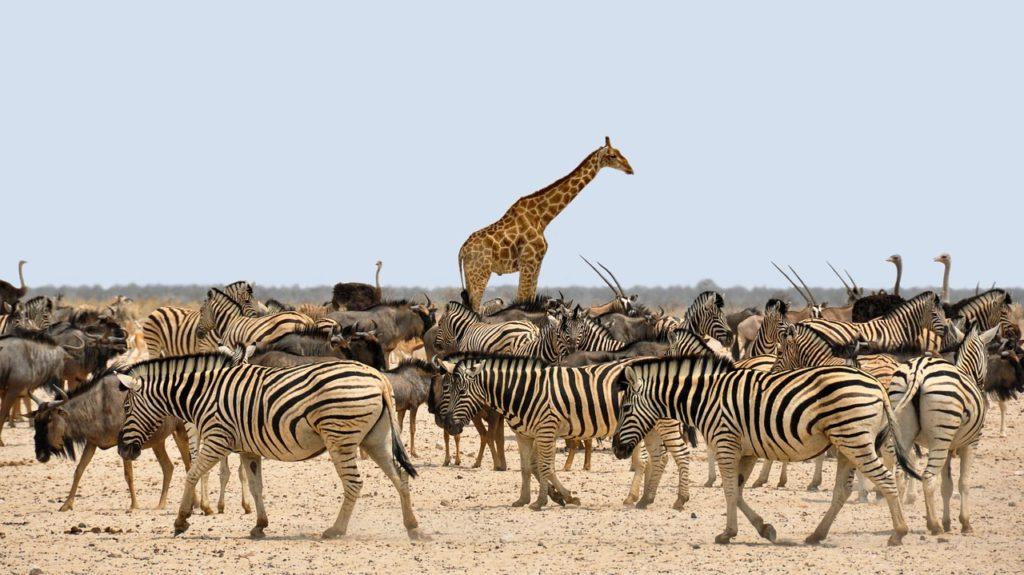GiraffeZebra