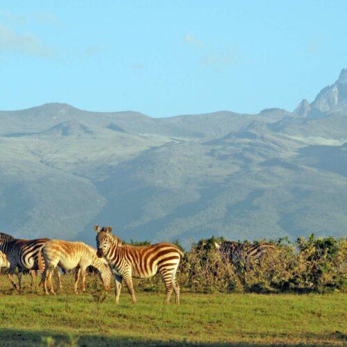 zebras at the base of mt kenya