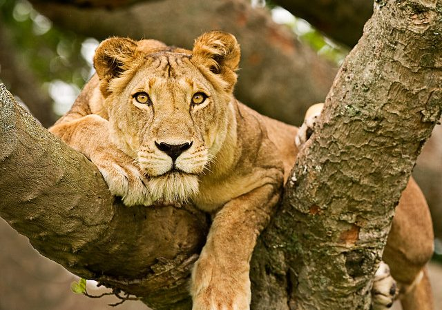 lioness peeping from a tree