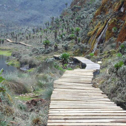 Rwenzori-Mountains-National-Park-boardwalk.