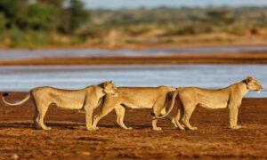 Shaba-National-Reserve-Lionesses