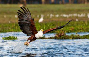 eagle at baringo