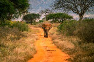 elephant in tsavo west
