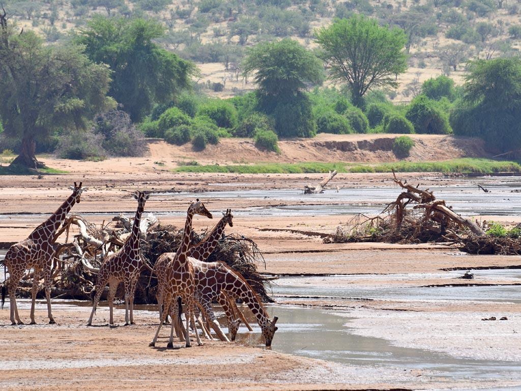 featured giraffes Shaba