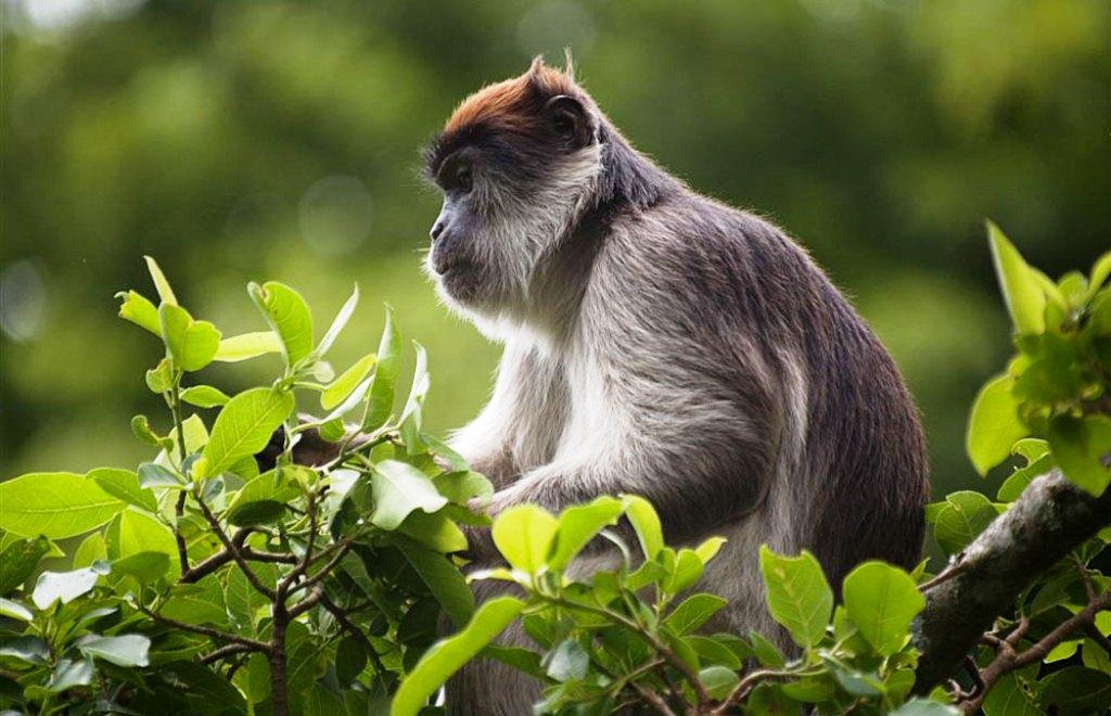 kibale-red-tail-monkeys