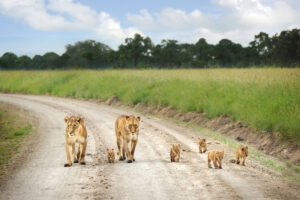 lioness and cubs on a road