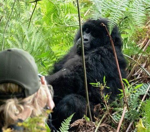 tourist photographing gorilla